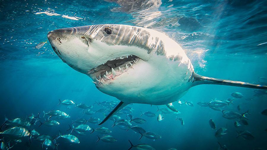 В Египте снова акулы