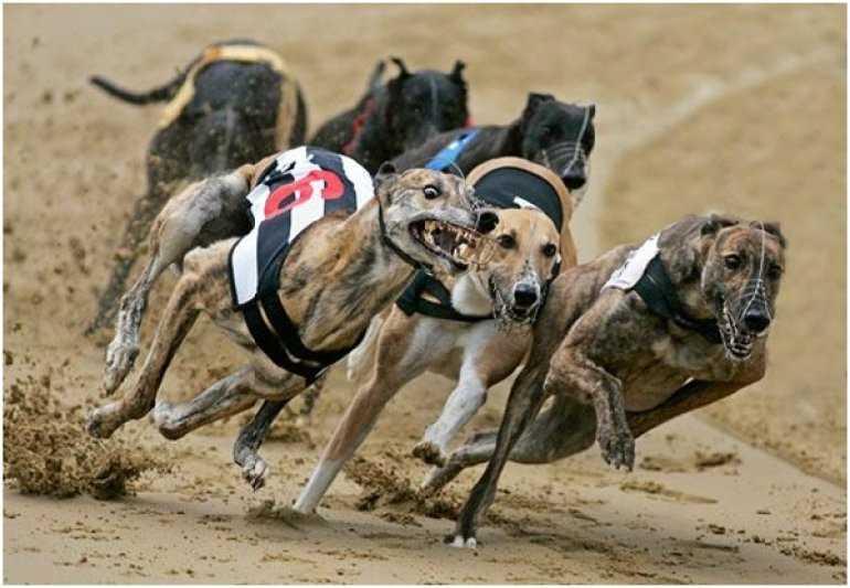 Что вы знаете о собачьих бегах в Австралии?
