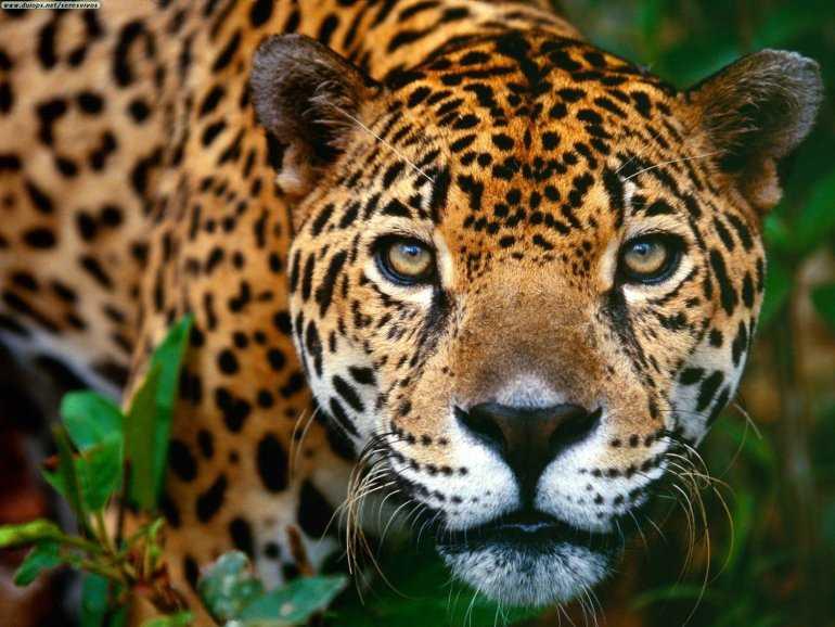 Задание для туриста: Найти ягуара в Бразилии
