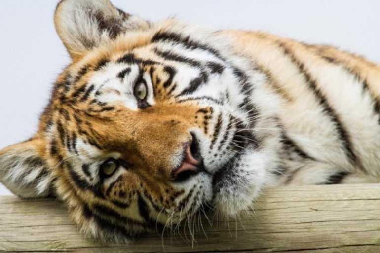 Список туриста: Увидеть тигров в Индии