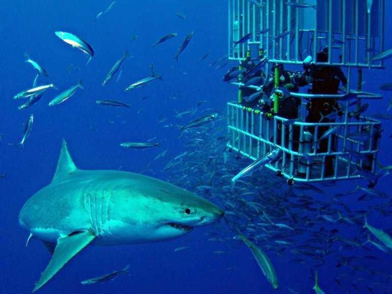 Дайвинг с акулами – как это?