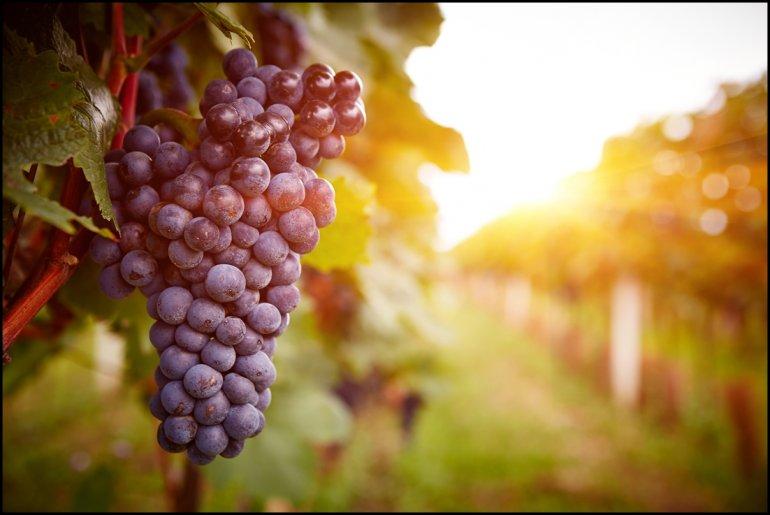 Виноград полезные лечебные свойства