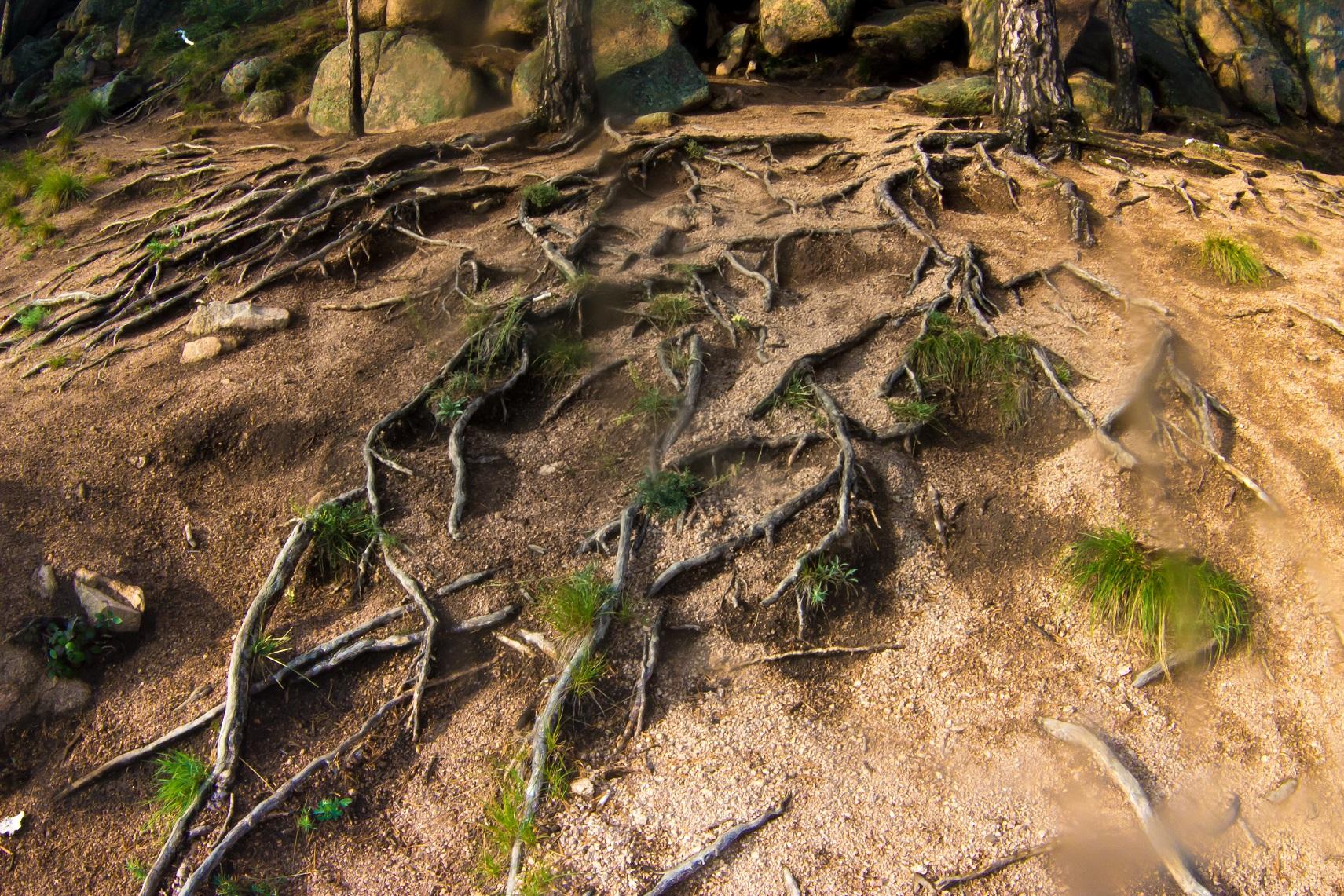 Ползущие корни