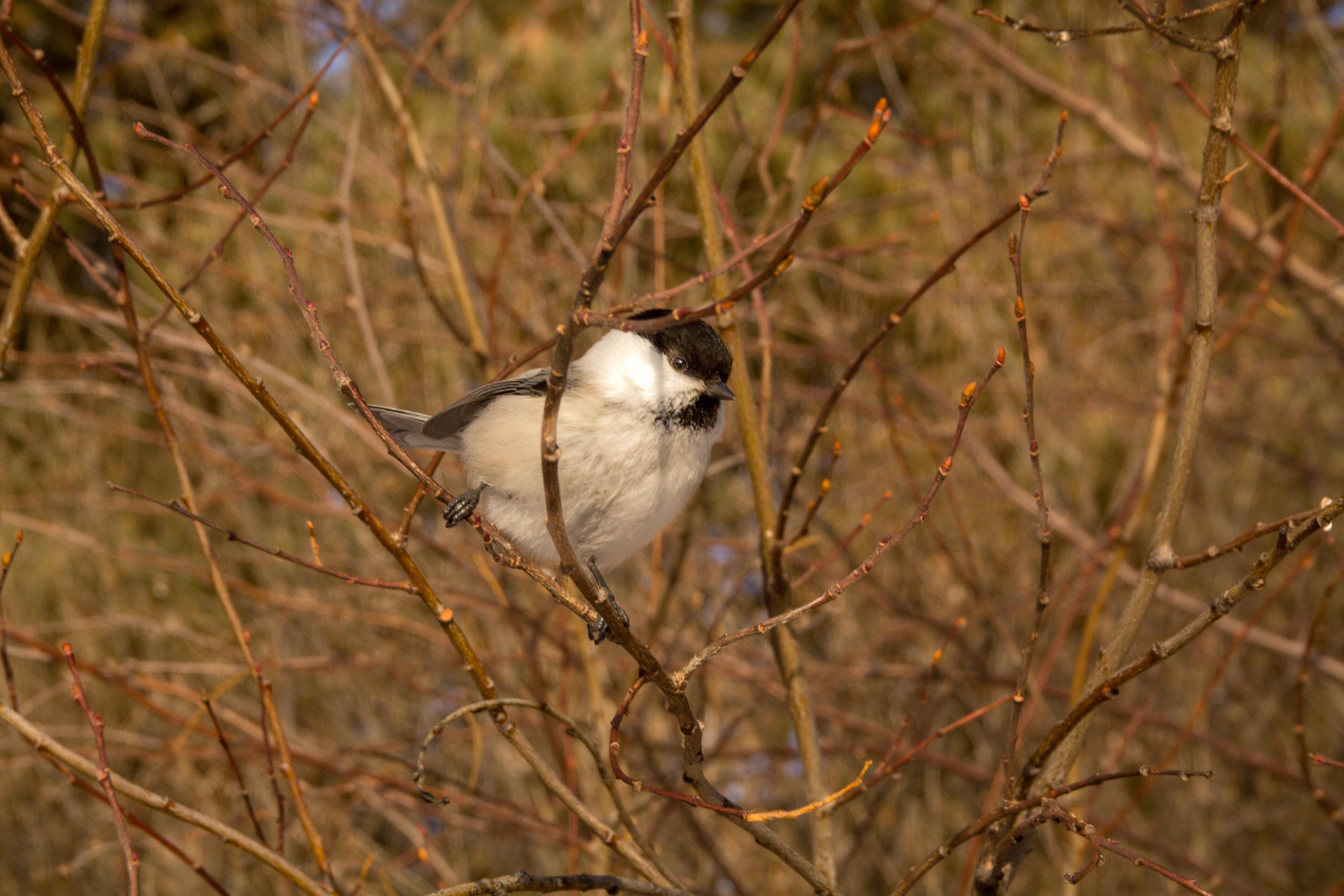 Зимующая в Сибири птица