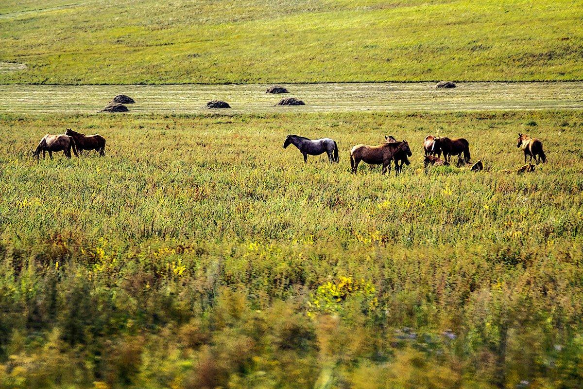 Забайкальские лошади