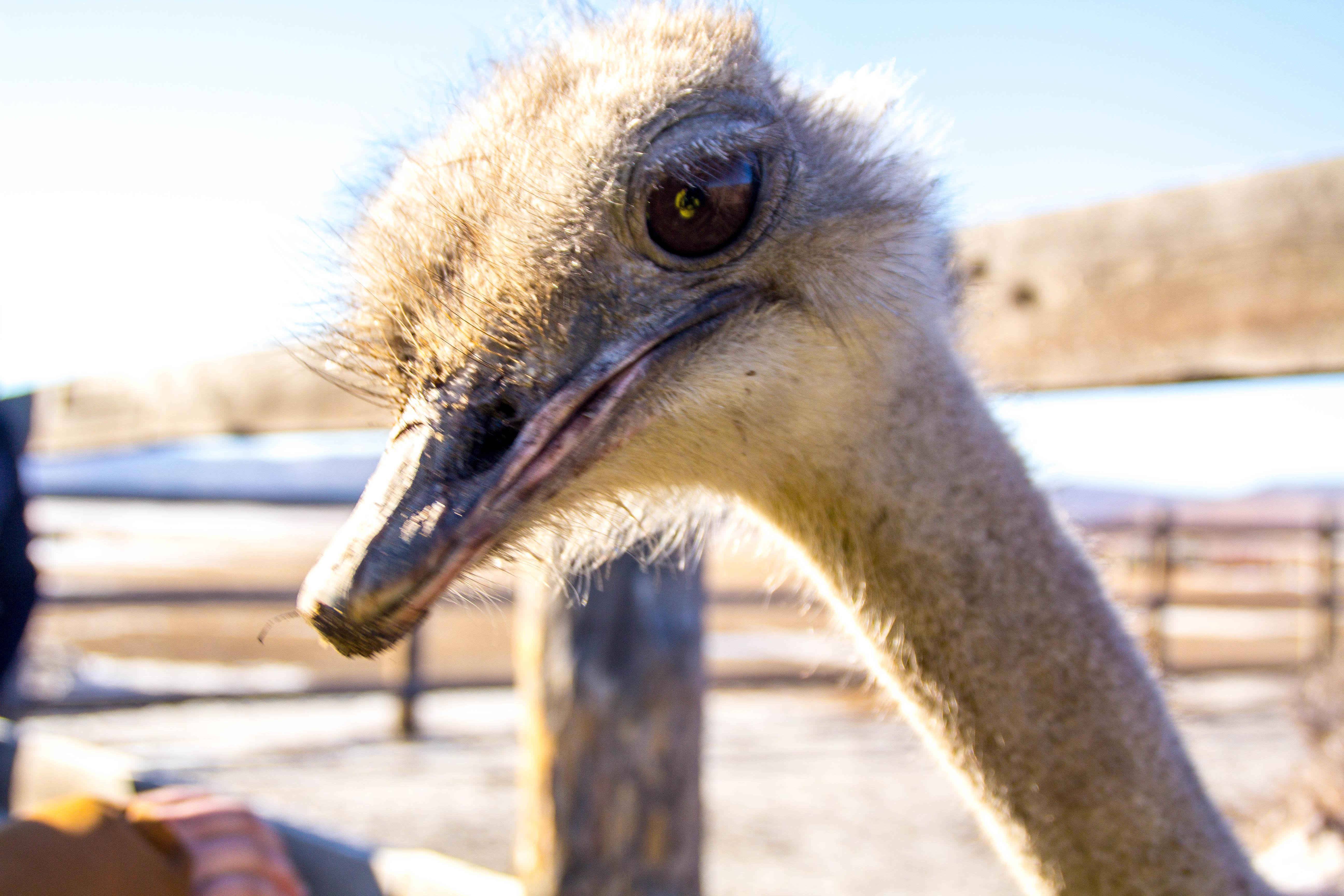 Забайкальский страус